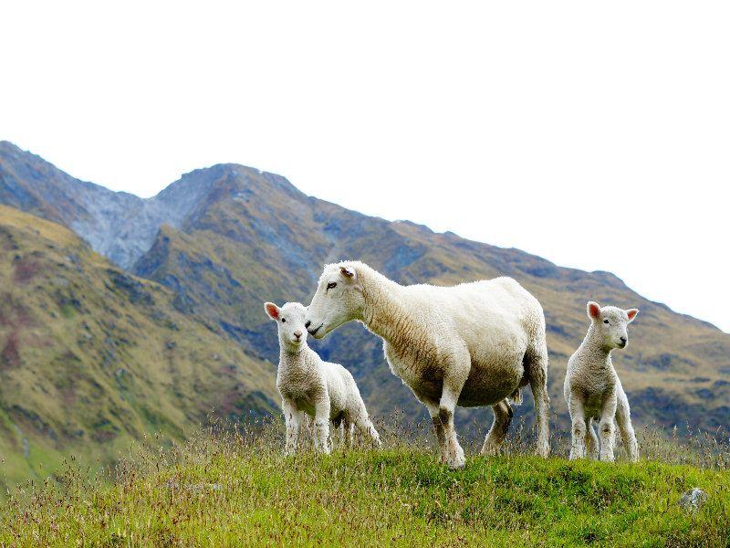 Ovejas Nueva Zelanda